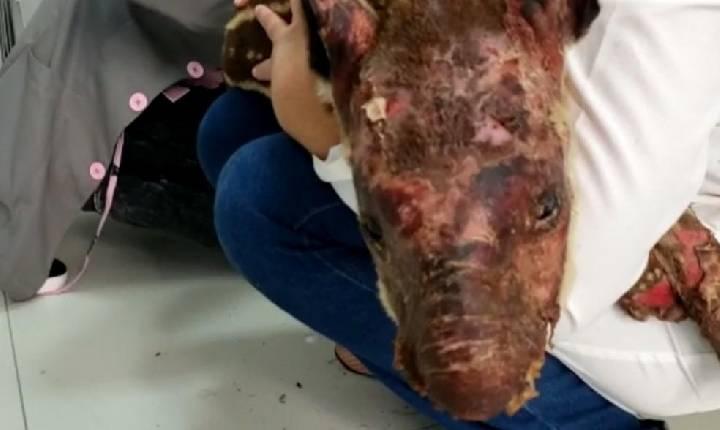 Filhote de anta que foi achado com 40% do corpo queimado após incêndio morre em Mineiros