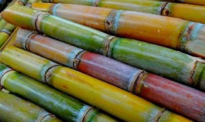 Goiás deve se tornar o segundo maior produtor de cana-de-açúcar do país, diz Conab