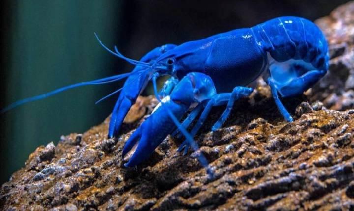 Homem pesca uma lagosta azul na Escócia; chance é de uma em 2 milhões