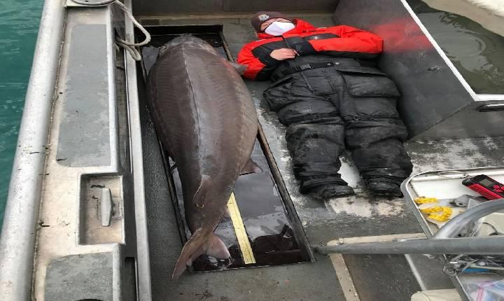 'Monstro do rio' de 109 kg é pescado nos EUA; peixe pode ter mais de 100 anos